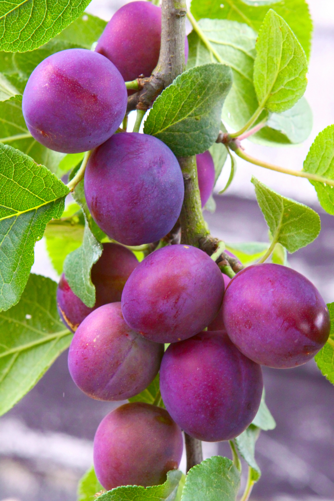 Methley Plum Tree. A favorite pollinator. The plum tree has fruit that is medium to large and has purplish skin with amber tinged flesh. This plum tree has excellent quality. It's juicy with a sweet mild flavor. Ripens early June. 250 chill hours. Zones 5-9.