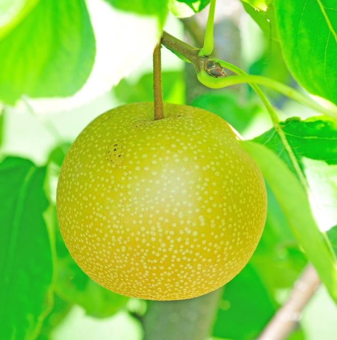 Monterrey Pear Tree. Large apple shaped pear. Sweet mild flavor. 100-200 chill hours. Zones 6-9.