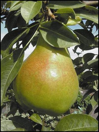 Moonglow Pear Tree. Medium to large pears. Mildly juicy, soft flesh. Ripens early Aug to mid Sept. Requires pollination. 700 chill hours. Zones 5-8.