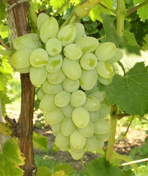 Neptune Bunch Grape. Seedless. Large clusters with sweet medium size grapes. Ripens mid season. Zones 5-8.