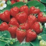 Ogallala strawberries are large and delicious. Ripens June-Sept.