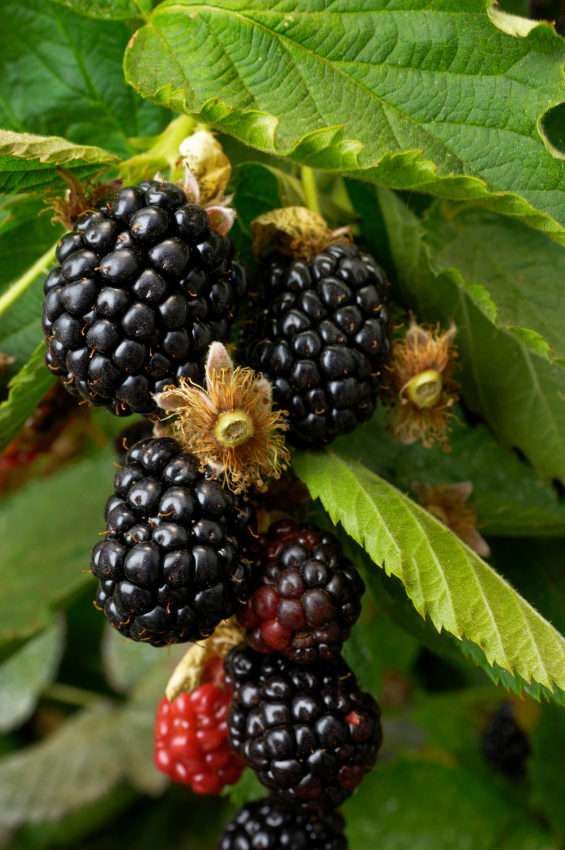 Ouachita Blackberry. Upright, thorn-less. Large, sweet berries. It has excellent flavor and is very prolific. Zones 5-9