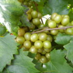 Pam Muscadine. Female. 21% sugar. Large fruit, large clusters, High yields. A must for commercial growers.