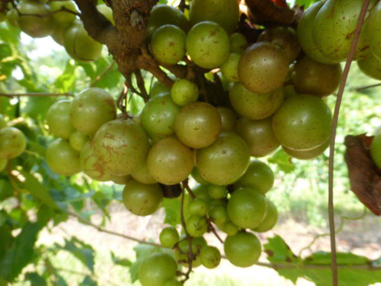 Pineapple Muscadine. Self fertile. 16% sugar. High yields. Mid to late season.