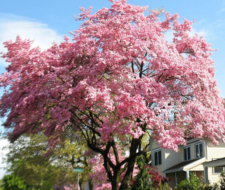 Pink Dogwood Flowering Tree Ison S Nursery Amp Vineyard