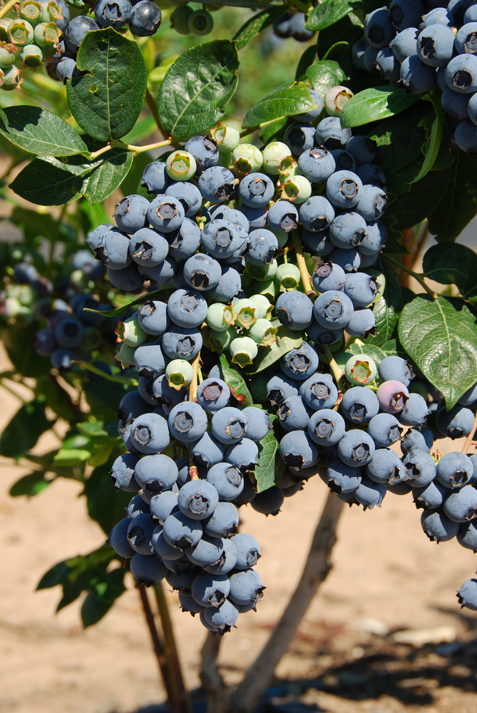 Premier Blueberry. Early to mid-season. Large berries. Good for u-pick. Zones 6-9.