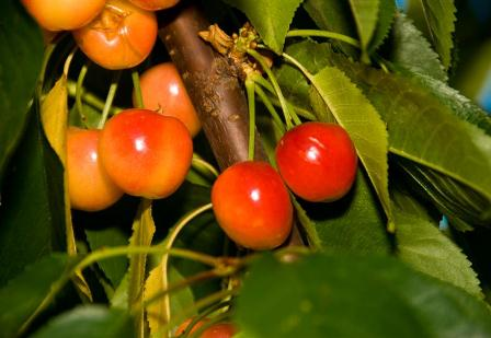 Rainer Cherry Tree. Know as the white cherry. It is one of the sweetest cherries available. Fruit is firm. Pollinate with another sweet cherry. 700 chill hours. Zones 5-9