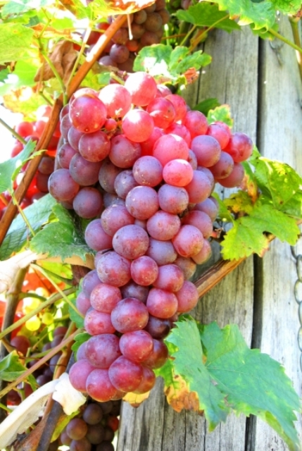 Red Flame Bunch Grape. Seedless. Crisp flavor. Zones 7-10