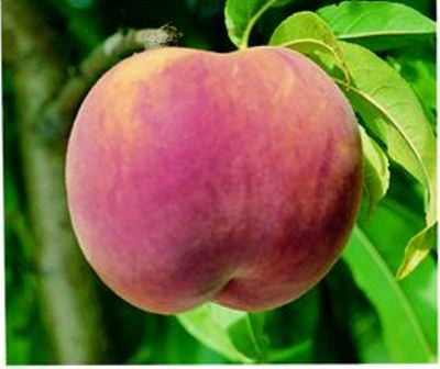 Red Globe Peach Tree. Freestone, large peach. Firm and very sweet. 800 chill hours. Zones 5-8.