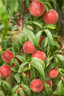 Red Haven Peach Tree. Medium size. Great all purpose peach. Ripens late July. 800 chill hours. Zones 5-8