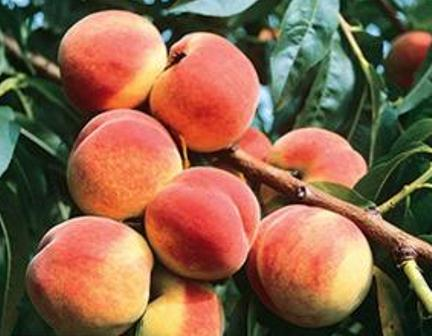 Redskin Peach Tree Large freestone peach, Yellow melting flesh. Fast growing tree, Ripens in July, 750 chill hours. Zones 5-8.