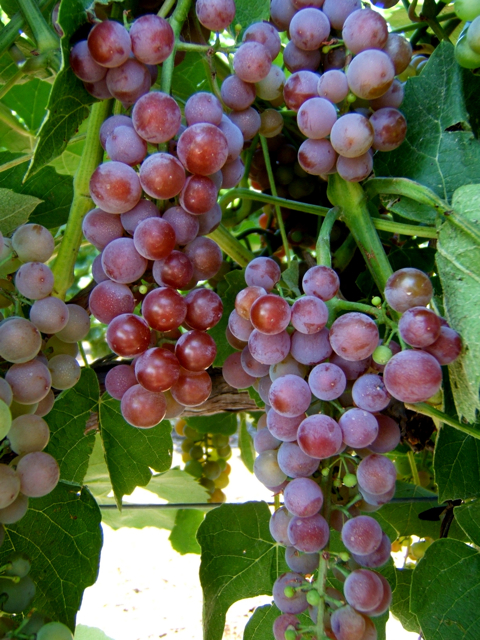 Reliance Bunch Grapes. Seedless. Medium to large clusters. Very hardy. Very sweet. Zones 4-9.