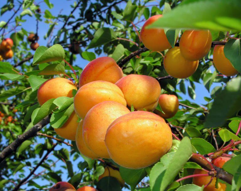 Royalty Apricot Tree Ison S Nursery Amp Vineyard