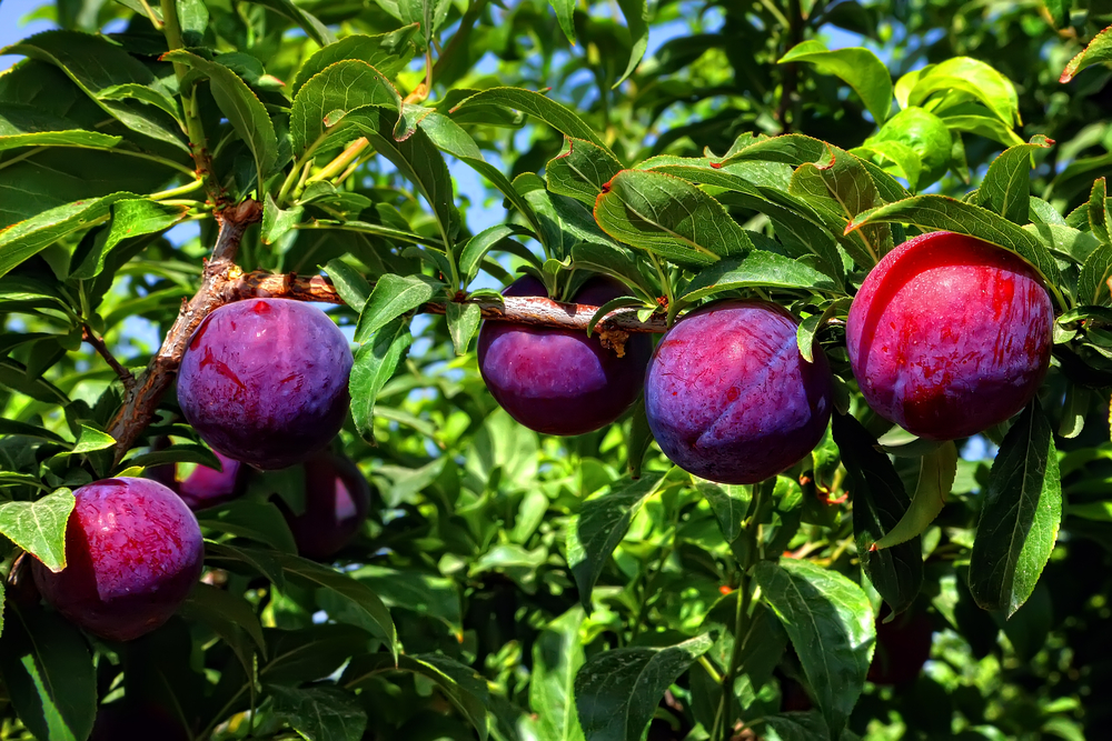 Santa Rosa Plum Tree. Very large Japanese plum. Firm flesh. Rich pleasing tart flavor. Ripens mid June. 400 chill hours. Zones 5-9.