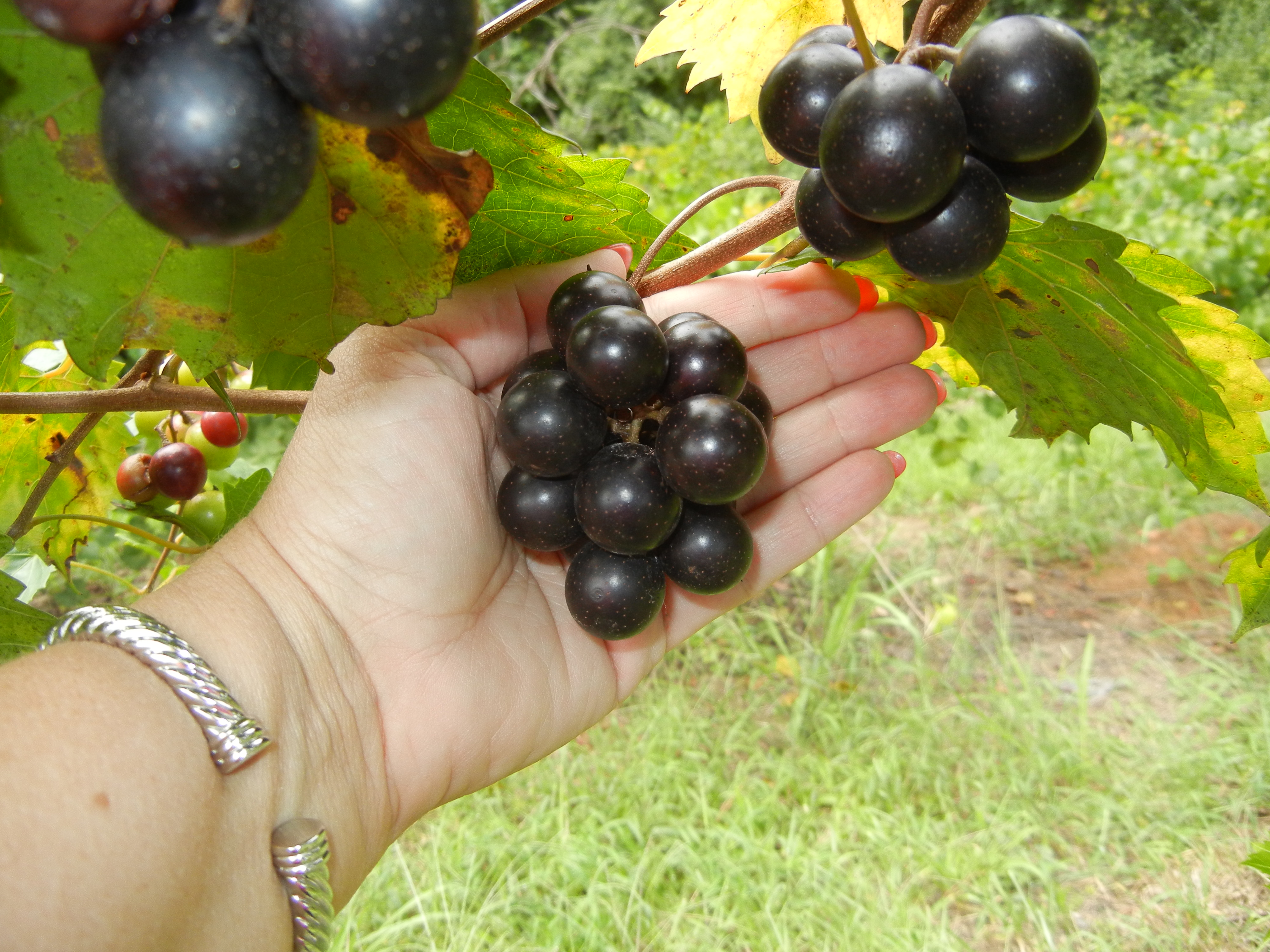 Southland Muscadine. Self fertile. 17% sugar. Medium size fruit. with excellent flavor. Cold hardy. Ripens mid season.