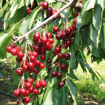 Stella Cherry Tree with delicious large red cherries.