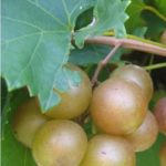 Summit Muscadine. Female, 20% sugar. Excellent quality with high yields. Medium to large fruit. Cold hardy. Early to mid season.