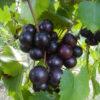 Sugargate Muscadine. Female. 23% sugar. Earliest ripening black variety.