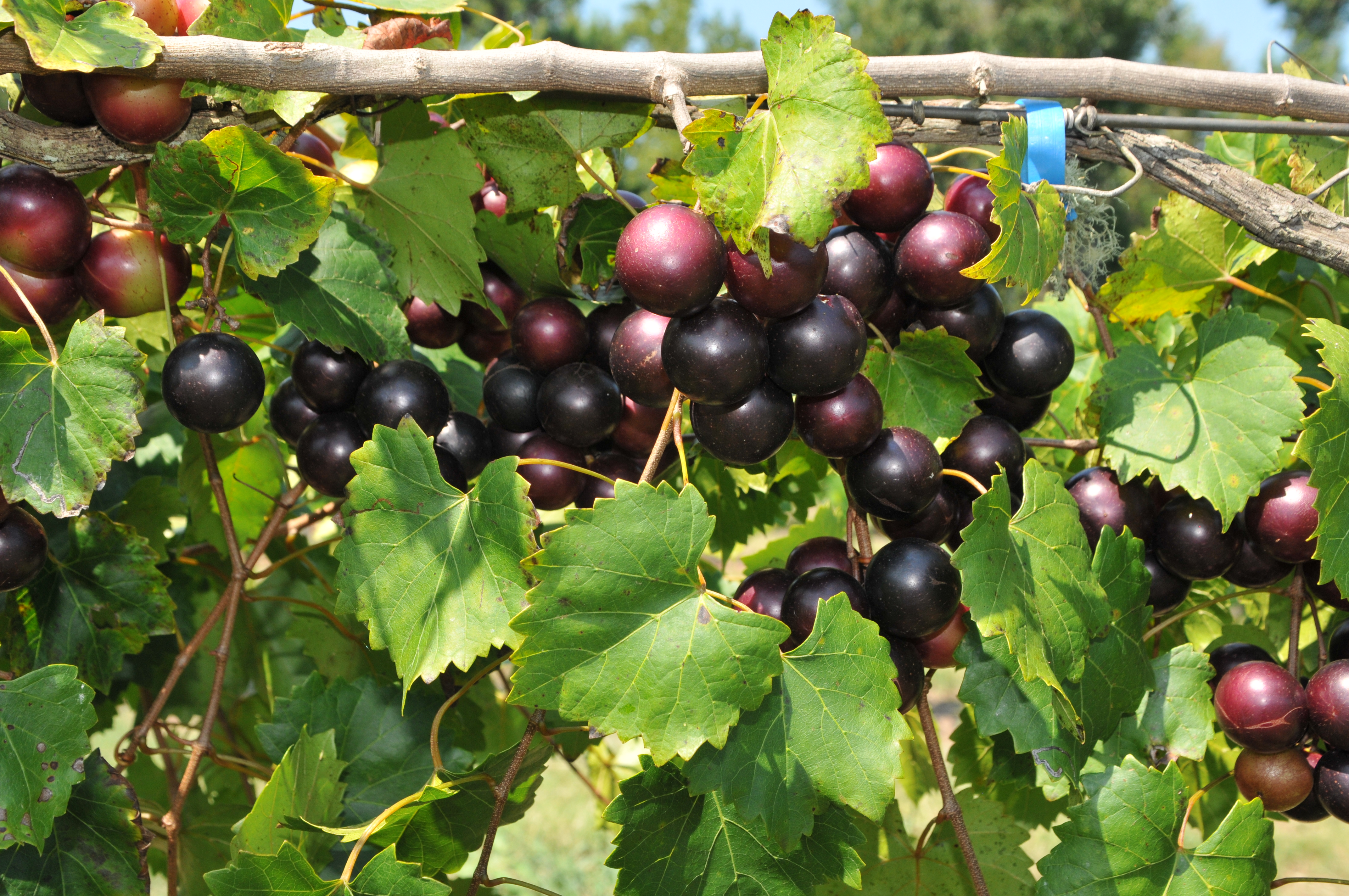 Supreme Muscadine. Female. Best of the best. 22% sugar. Large grapes. Ripens early season. A must have.
