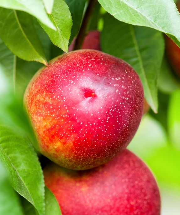 Sure Crop Nectarine . Sweet, juicy and mellow. Ripens in July, 400 chill hours. Zones 5-9.