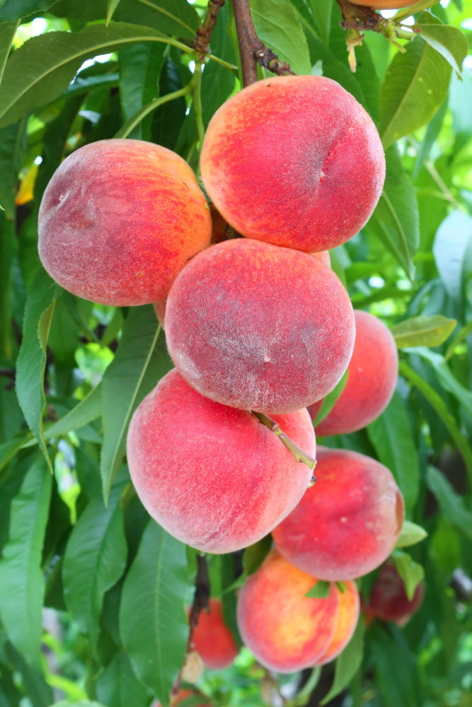 Sure Prince Peach Tree. Large peach. Great for fresh eating. Ripens late June. 900 chill hours. Zones 4-8.