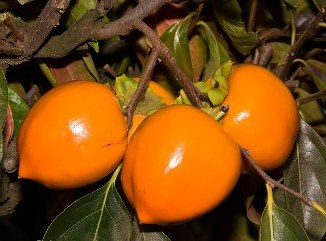 Tanenashi Persimmon Tree. Astringent. Large to very large long round fruit. Almost always seedless. 100-200 chill hours. Zones 7-10.