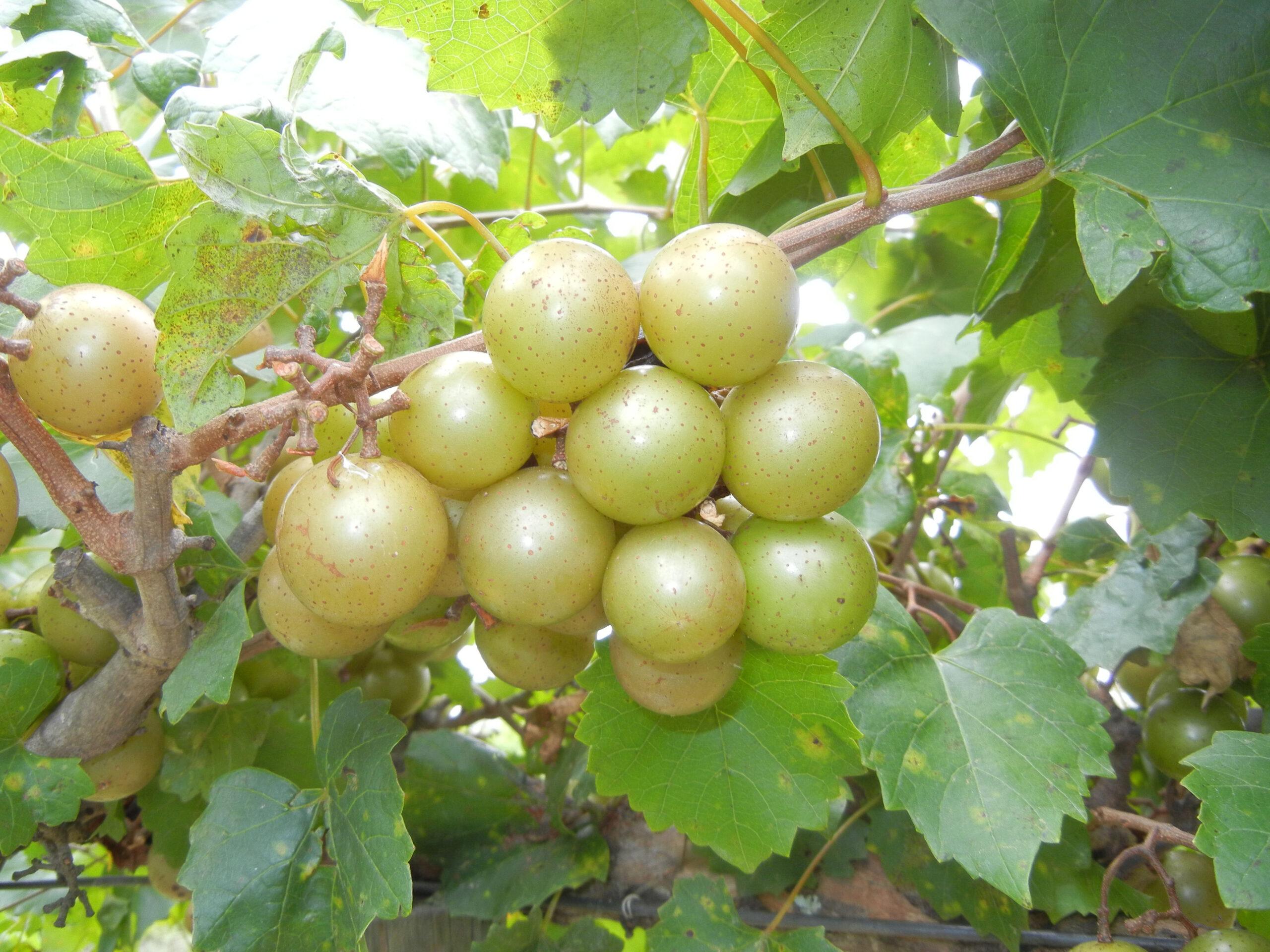Tara Muscadine. Self fertile. 17% sugar. good size and quality. Ripens early to mid season.