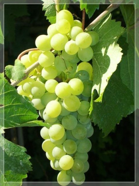 Tthompson Seedless Bunch Grape. Seedless. Produces large and well-filled clusters. Grows well in hot climates. Good for all uses. Zones 5-8.