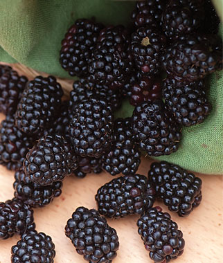 Triple Crown Blackberry. Thorn-less semi erect. High yields, large fruit with excellent flavor. Very winter hardy. Zones 5-9