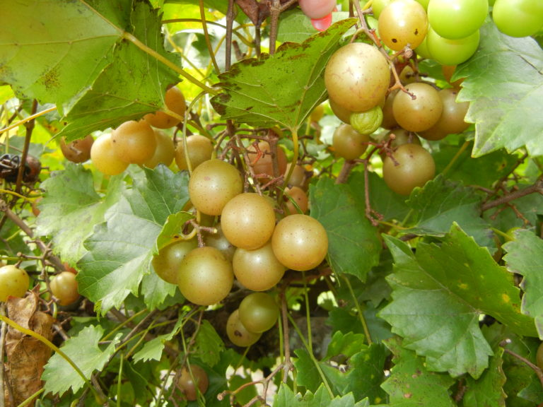 Triumph Muscadine. Self fertile. 18% sugar. medium size, cold hardy. Ripens early to mid season.