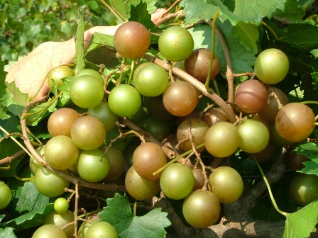 Triumph Muscadine. Self-fertile. 18% sugar. Ripens early to mid season. Ripens uniformly.