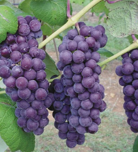 Vanessa Bunch Grape. Seedless. Large sweet fruit. Large clusters. Disease resistant. Winter hardy. Zones 5-8