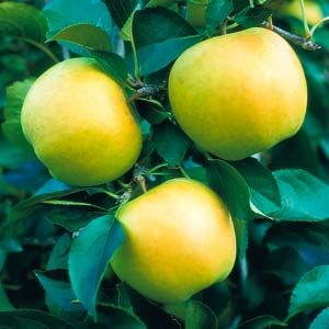 Yellow Delicious Apple Tree. Pollinator. All time favorite for its sweetness and flavor. Ripens in Sept. Zones 5-9.