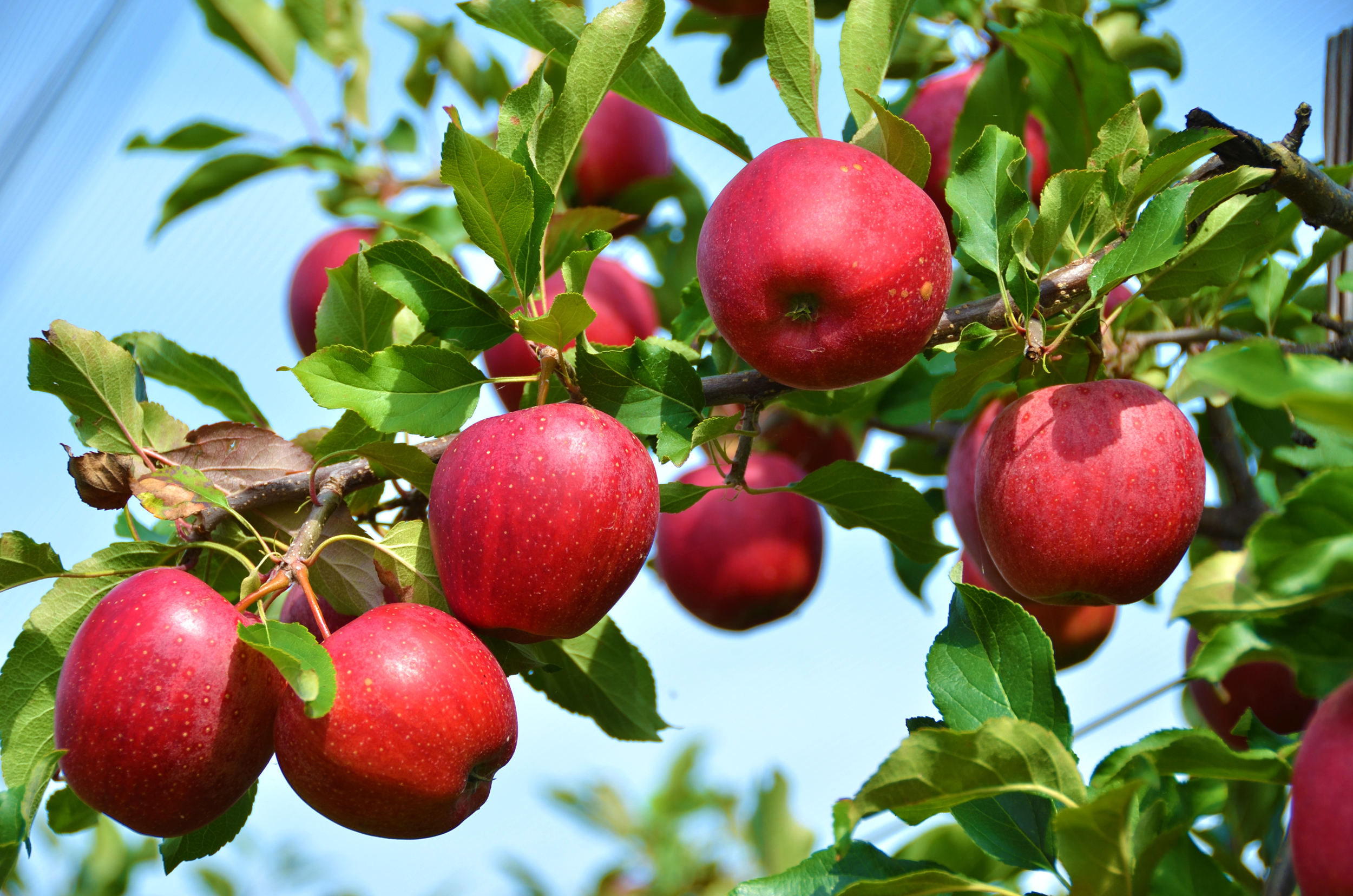 https://www.isons.com/wp-content/uploads/2016/10/apples-on-branch.jpg