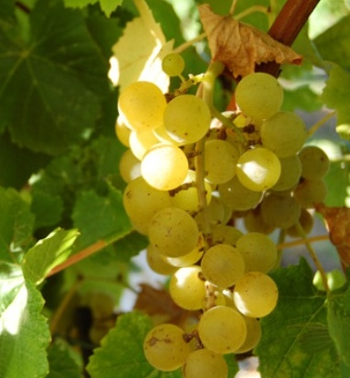 Blanc du Bois Bunch Grape. One of the best wine grapes for the south. Makes a premium wine. . Withstands heat and humidity. Pierce disease resistant. Ripens mid to late July. Zones 6-10.