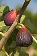 Brown Turkey Fig Tree. One of the best eating figs. Heavy producer. Medium to large size. Sweet and tender. 100 chill hours. Zones 6-9.