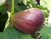 Celeste Fig Tree. Most cold hardy. Very sweet, has a rich honey flavor. Often called the sugar fig. 100 chill hours. Zones 6-20
