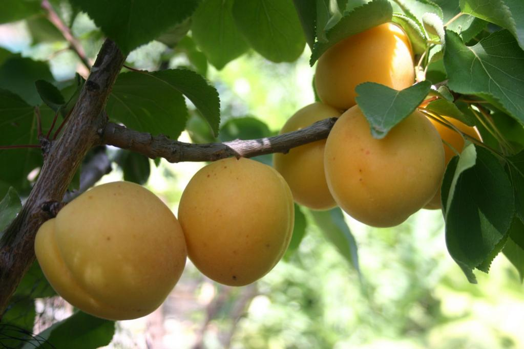 Cot N Candy. A Plum and Apricot hybrid cross that produces crunchy fruits that are plum shaped with extremely sweet Apricot flavor. Melting flesh. Tree is compact and bears consistently heavy crops. Self-fertile but bears better when planted with another apricot. 400 chill hours. Zones 7-10.