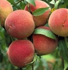 Elberta Peach Tree. Freestone. An all time favorite peach and is known for large sweet peaches. melting flesh. Ripens approximately July 25th. 950 chill hours. Zones 5-8