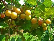 Janet Muscadine. Female. 20% sugar, Large size. Cold hardy. Ripens mid to late season.
