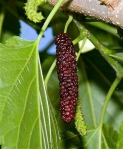 "Pakistan Mulberry Tree. Produces 3-5"" long maroon to black berries. Very sweet and flavorful. Long fruiting season. Ripens spring to early summer. Zones 6-10."