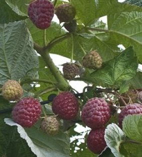 Nantahala Raspberry. Upright, thorny variety with dark red berries. Small seeds. Ripens late season. Zones 5-9.
