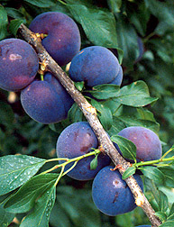 Plumcot. A combination of a plum and apricot. Fruit is large, sweet and firm. Very productive. Grows to 10-12 feet tall. Pollinate with another plum tree. Ripens mid June. Zones 6-9.