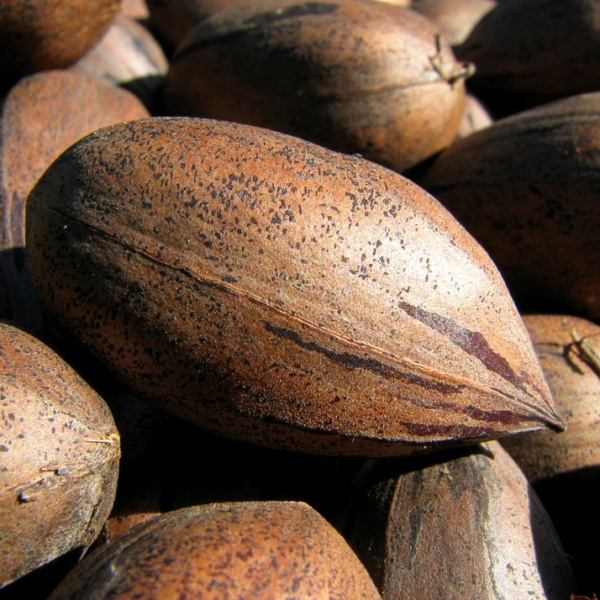 Desirable Pecan Tree. Heavy bearer. Nuts are larger than Stuart. Use Stuart as pollinator. Resistant to scab. 39 nuts per lb. Early season. Zones 7-9.