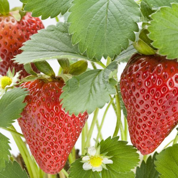 Chandler Strawberry. Large fruit. Mid season. Long fruiting season. Zones 4-8.