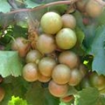 Sweet Jenny Muscadine. Female. 23% sugar. Large fruit and vigorous. Ripens early to mid season.
