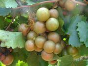 Sweet Jenny Muscadine. Female. 23% sugar. Large fruit and vigorous. Ripens early to mid season.