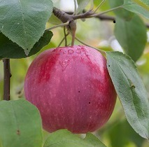 I/O Apple Tree