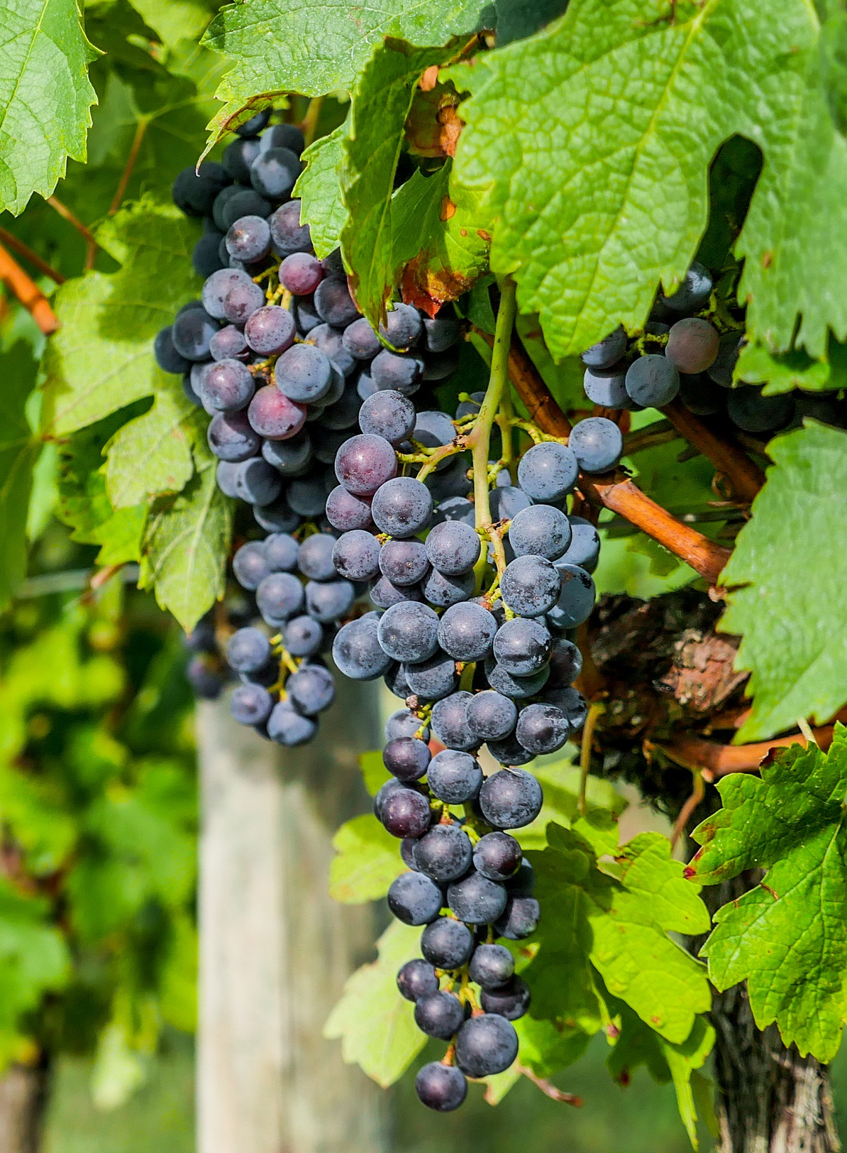 Chambourcin Bunch Grape. Large, moderatly loose bunches. Medium size grapes. Late ripening. Requires long growing season. Zones 4-7