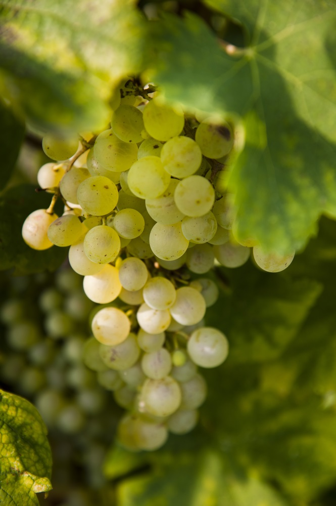 Chardonel Bunch Grape. White seeded, late ripening wine grape. that produces high quality white wine. Cold hardy, high yields, Zones 5-8.